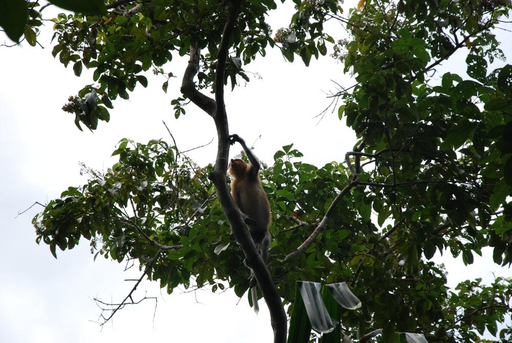 87. Śmieszne małpy z długim nosem i inni mieszkańcy Bako. Borneo. (2/6)