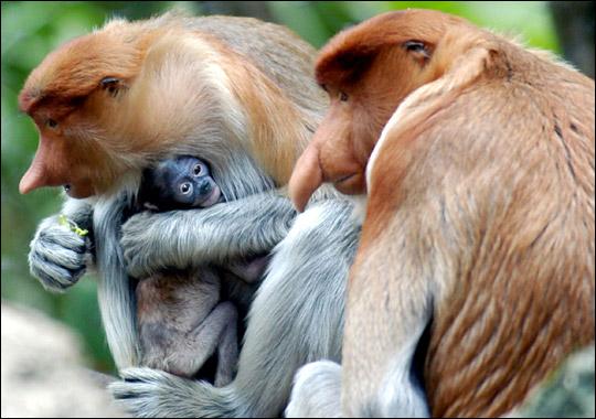 87. Śmieszne małpy z długim nosem i inni mieszkańcy Bako. Borneo. (4/6)