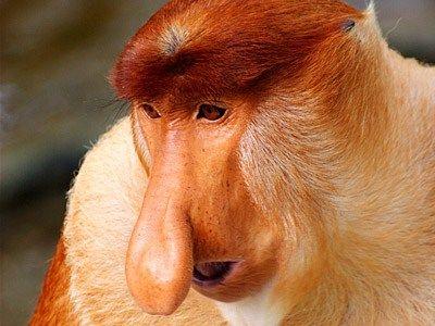87. Śmieszne małpy z długim nosem i inni mieszkańcy Bako. Borneo. (3/6)